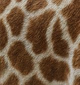 Skin Of Giraffe