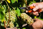 vintage in a vineyard winemaker. vineyard in autumn. ripe grapes are harvested.