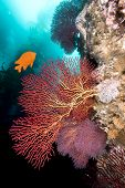 A bright orange garibaldi swims by some beautiful sea fans at Catalina Island in California
