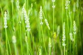 A grasshopper in the lavender field