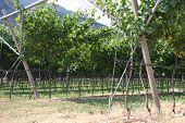 Vinhedo impressionante cultivo da uva e a produção de vinho