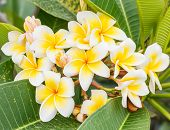 Branch Of Tropical Flowers Frangipani (plumeria), Thailand