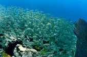 Shoal Of Tropical Fish That Includes Silver Grunts