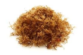 picture of irish moss  - Carrageen moss  - JPG
