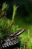 European Viper.
