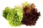 Lactuca Sativa Lettuce_green Red