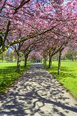 Sprin cherry blossom, alley in the park