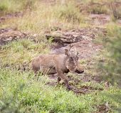 Warthog in the savanna