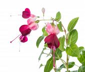 Dark-cherry Fuchsia Isolated On The White,  `Gota`