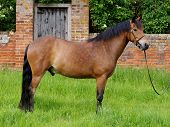 image of bridle  - A New Forest pony stands in a bridle in a paddock - JPG