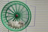stock photo of hamster  - little hamster running in a wheel and cage - JPG