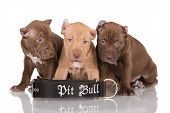 three pit bull puppies with cut ears