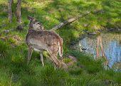 White-Tailed Deer (Odocoileus virginianus) Stands Near Pond