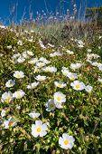 Cistus Monspeliensis Flower