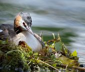 foto of grebe  - Crested grebe duck  - JPG