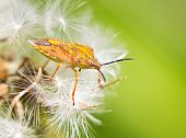 Orange Bug On Dandelion