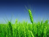 stock photo of nubian  - green wheat field - JPG