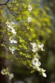 White flowering dogwood tree (Cornus florida) in bloom