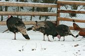 Turkey With Pheasant On The Barnyard In Winter