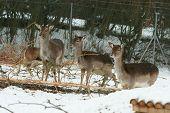 Herd Of Deer Together In Winter