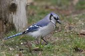pic of blue jay  - Blue Jay  - JPG