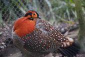 Blyth's Tragopan Pheasant Red Feathers Head