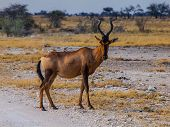 Red Hertbeest In The Savannah