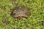 Alabama Box Turtle - terrapene carolina
