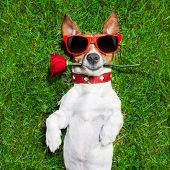 picture of dog-rose  - dog with a red rose in his mouth falling in love - JPG
