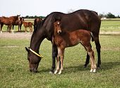 Horses Mare And Foal Eating In The Meadow