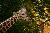 a portrait of a pretty giraffe