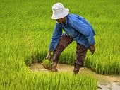 Farmer Working on Ruce Field, Siem Reap, Cambodia