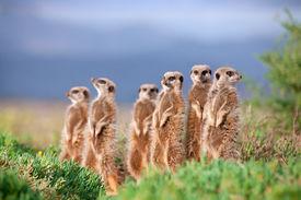 foto of meerkats  - Oudsthoorn Meerkat Adventures, Garden Route, Route 56 ** Note: Shallow depth of field - JPG