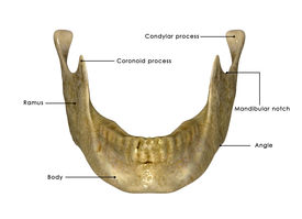 picture of mandible  - The jaw is any opposable articulated structure at the entrance of the mouth - JPG