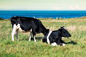 Spanish Milk Cow In The Seaside Farm,asturias,spain