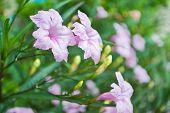 Purple Flowers Bloom In The Morning. (ruellia Tuberosa Linn. Waterkanon, Watrakanu, Minnieroot, Iron