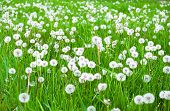 Green Field With White Fluffy Dandelions poster