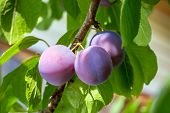 Plums On A Tree