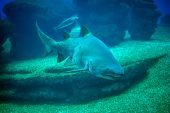 stock photo of great white shark  - Great white shark in the depths of the sea - JPG