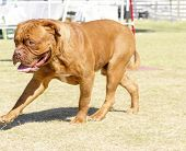 picture of english-mastiff  - A close up of a young beautiful reddish brown mahogany Dogue de Bordeaux aka French Mastiff dog walking on the grass distinctive for its massive heavy head with wrinkles short muzzle and muscular body - JPG