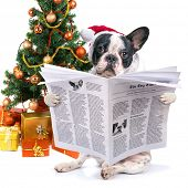 French bulldog in santa hat reading newspaper under christmas tree