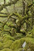 picture of epiphyte  - Moss covered Granite Boulders & Oak Trees with epiphytic mosses lichens and ferns