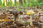 Edible And Poisonous Mushroom