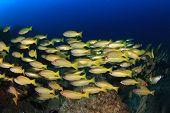 School yellow Snapper fish