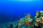 Coral reef underwater and Manta Ray