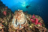 Octopus and scuba diver