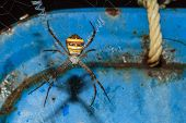 Multi-coloured Argiope Spider, Argiope Versicolor