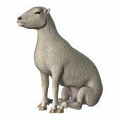 Sheep On White