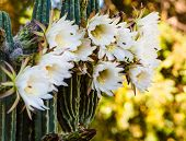Rare Night Blooming Cereus Cactus