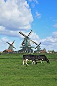 Cows grazing on lush grass not far from the windmills. Charming Dutch pastoral